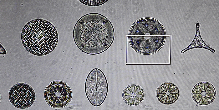 Diatom arrangement by Firth