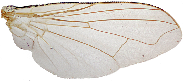 Wing of Musca domestica