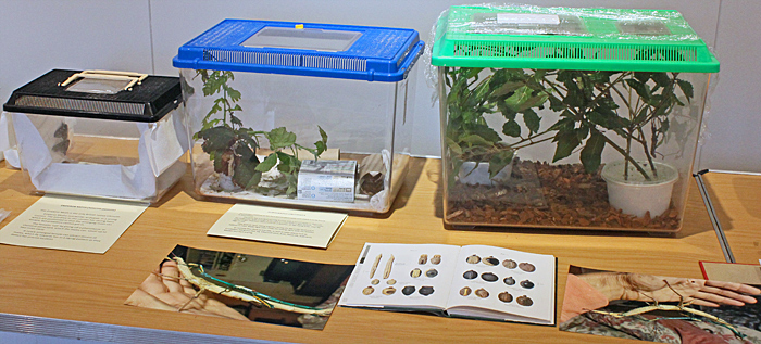 Live phasmids and silkmoths