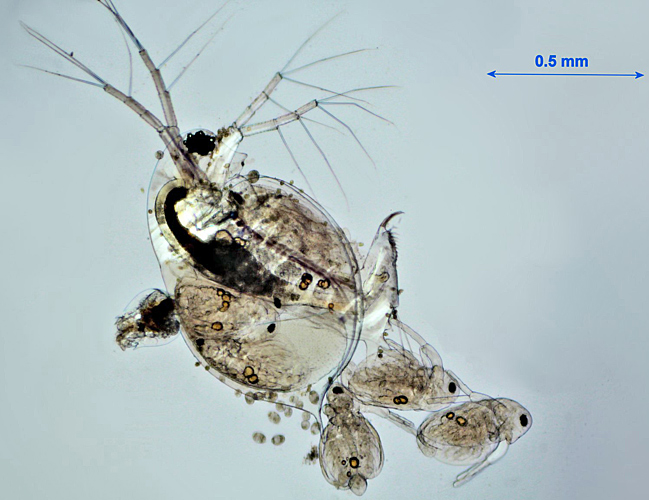 Daphnia pulex with young