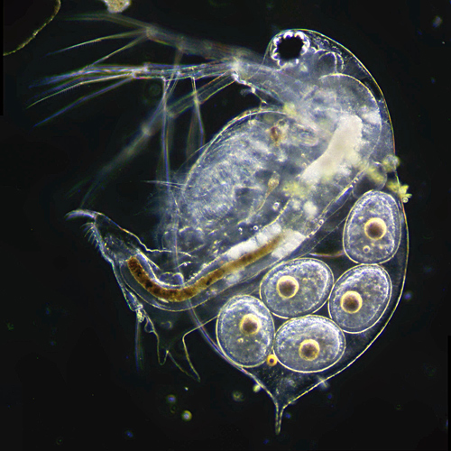 Daphnia with eggs
