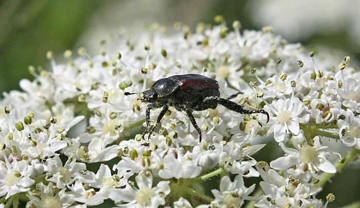 Beetle on hogweed