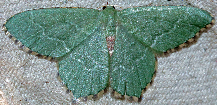 Common emerald moth