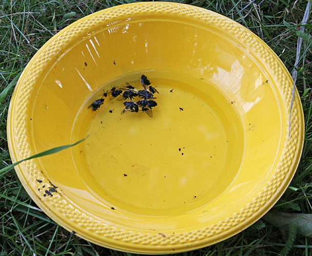 Yellow pan trap for catching insects