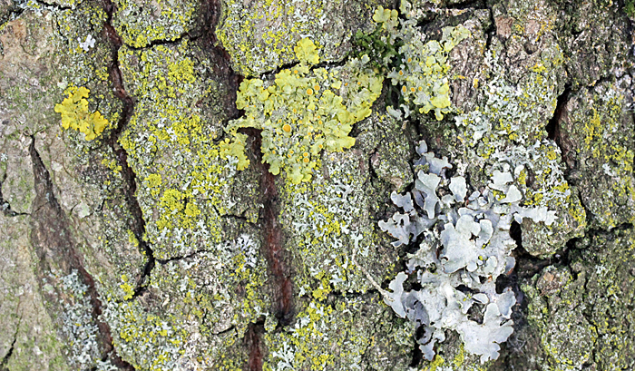 Lichens on oak bark