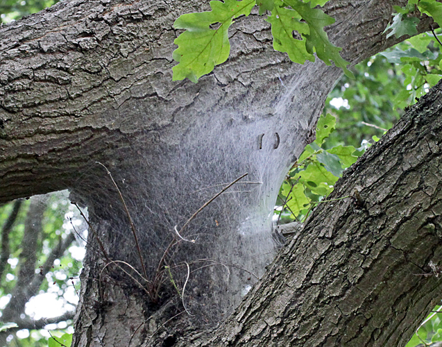 Webbed nest of oak processionary caterpillars