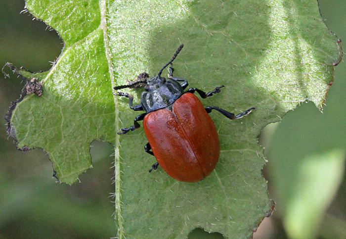 Red poplar leaf beetle