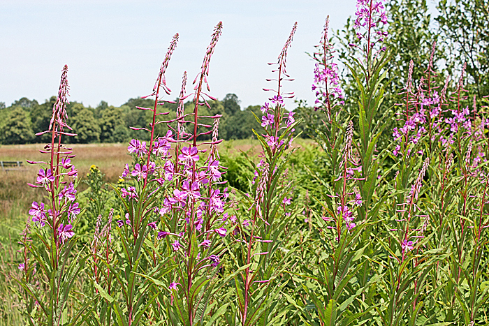 Rosebay willowherb