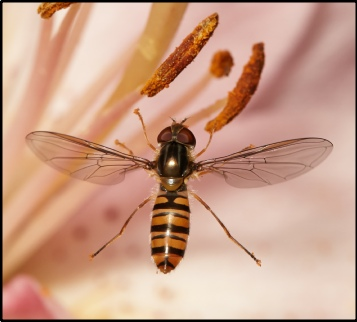 Hoverfly (100mm macro lens)