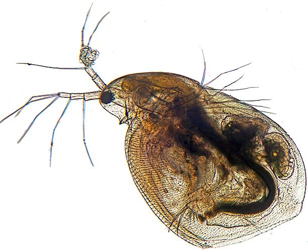 Simocephalus sp.