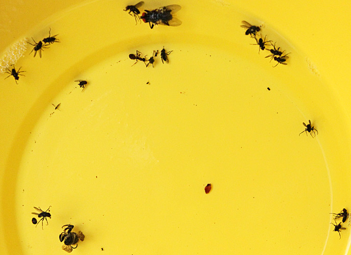 Insects in yellow pan trap