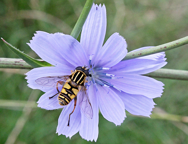 Hoverfly on common chicory