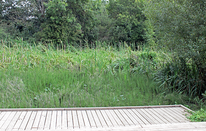 Dried-up pond with horsetails