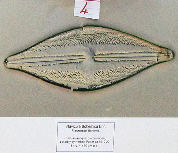 Navicula bohemica