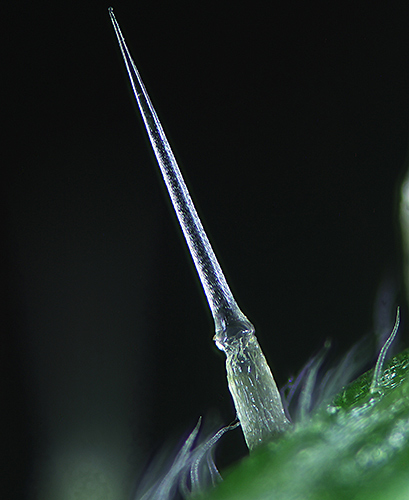 Stinging hair on nettle stem (by Alan Wood)