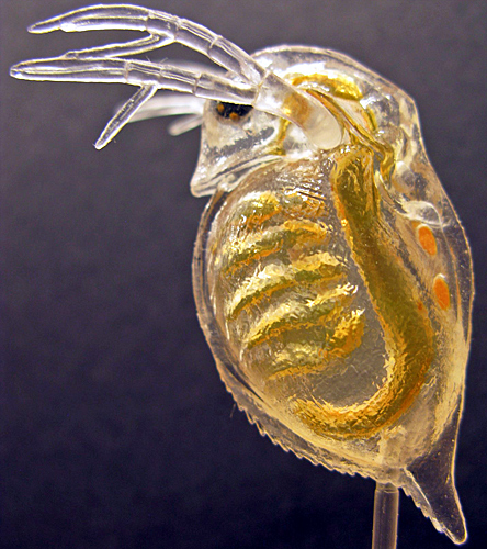 Model of a waterflea