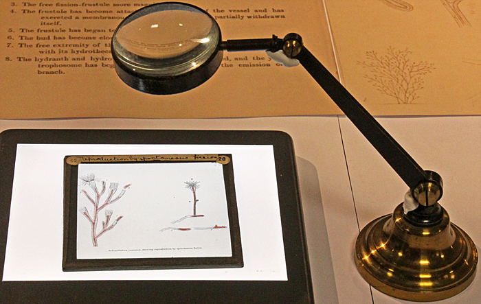 Lantern slide of Schizocladium ramosum