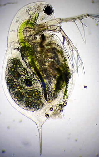 Daphnia magna (female waterflea with eggs)