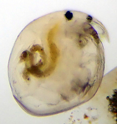 Small waterflea