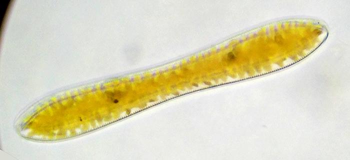 Surirella linearis (a diatom)