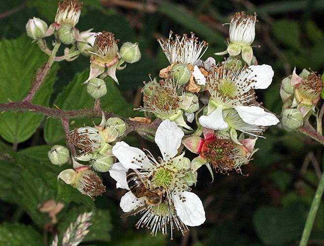 Honeybee on blackberry flowers