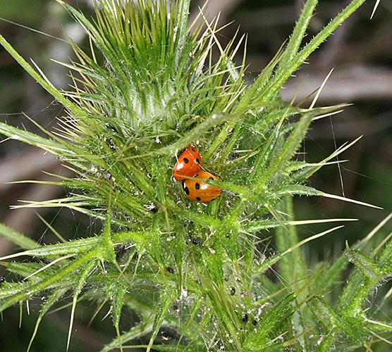 Ladybirds on thistle