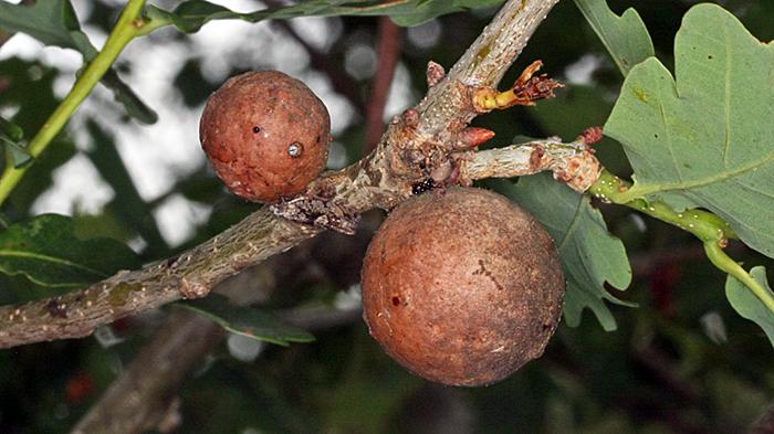 Marble galls on oak tree