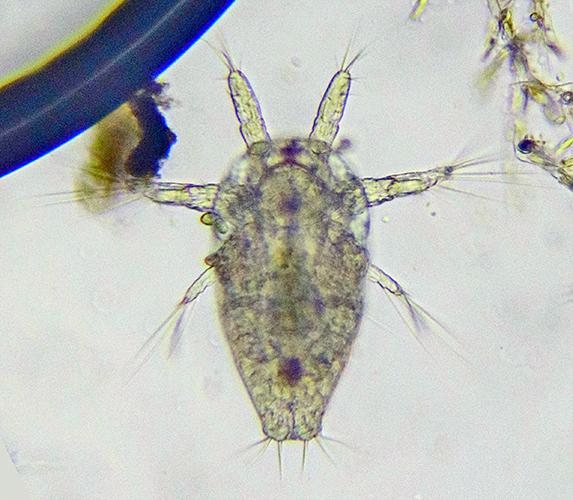 Nauplius larva