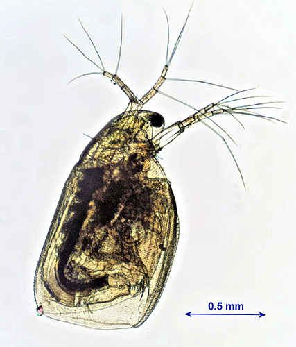 Simocephalus vetulus