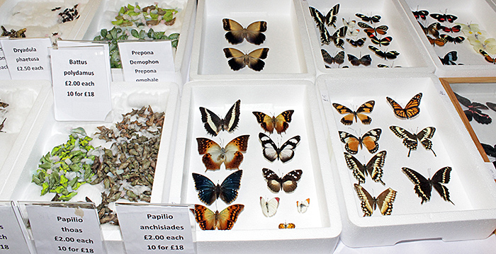 Butterflies and pupae for sale