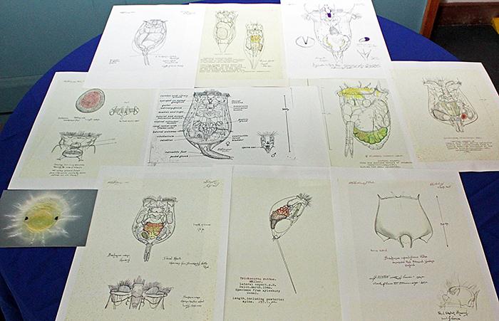 Eric Hollowday's rotifer drawings