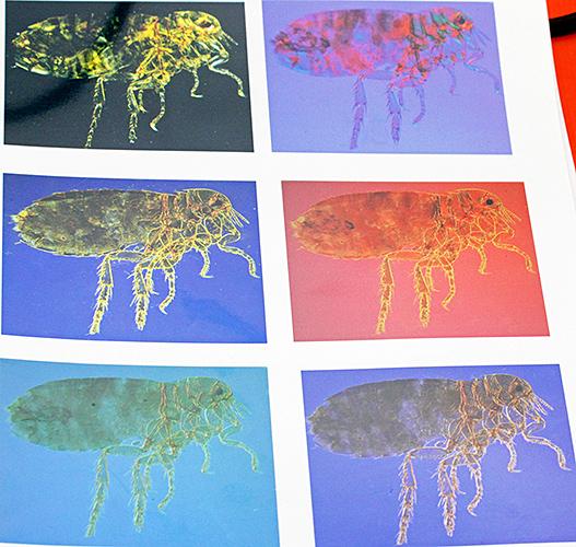 Coloured photomicrographs of fleas