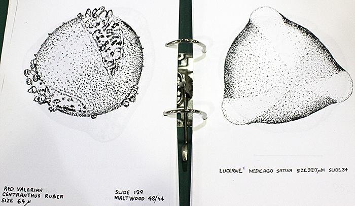 Norman Chapman's pollen drawings