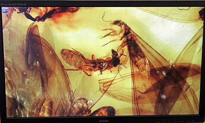 Termites in amber