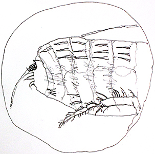 Drawing of cat flea by Tristram Martyn