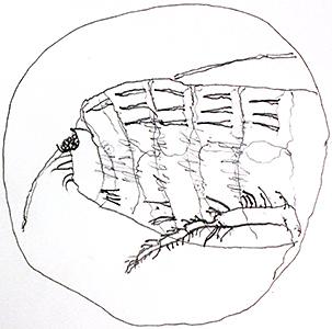 Drawing of cat flea by Tristram Martyn