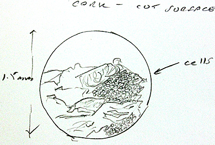 Drawing of cut surface of cork by Pam Hamer