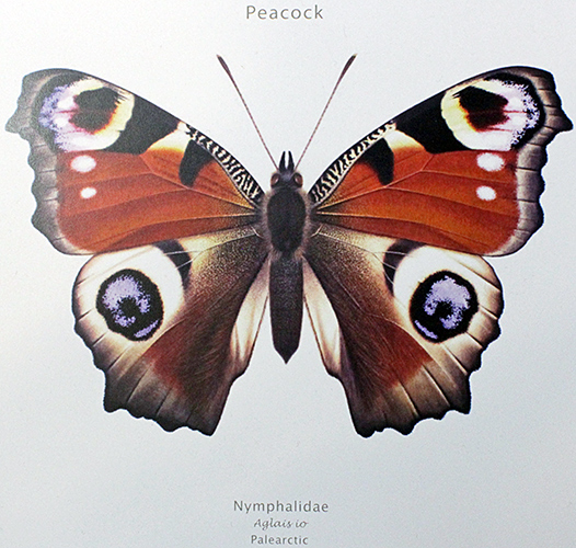 Drawing of peacock butterfly