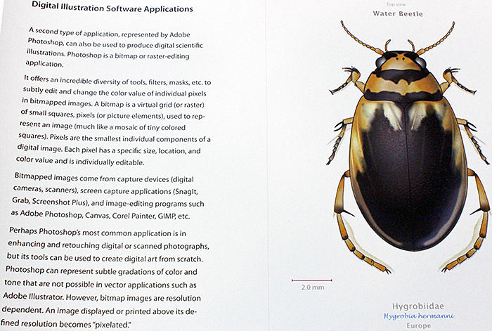Drawing of water beetle