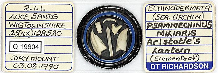Slide of sea urchin Aristotle's lantern