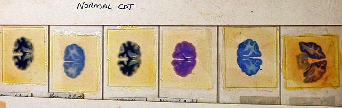Cat cerebellum slides