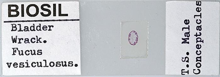Fucus vesiculosus T.S. male conceptacles