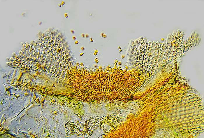 Rust on groundsel (Senecio vulgaris)