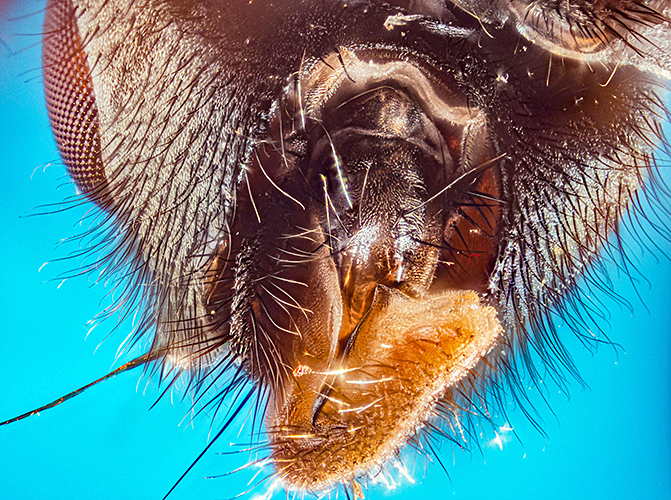 Kelp fly looking into mouth
