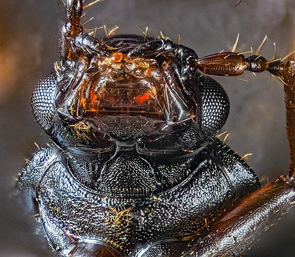 Rove beetle (Omalium sp.) mouth