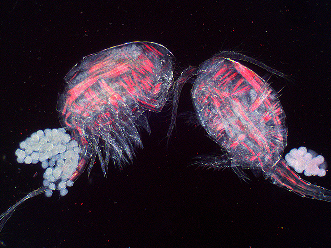 Copepods with eggs (dark ground plus crossed polarisers and red filter)