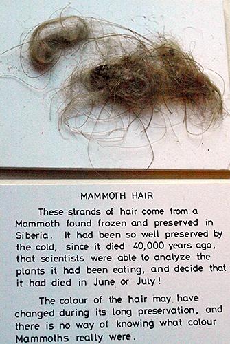 Mammoth hair exhibit in Norris Museum