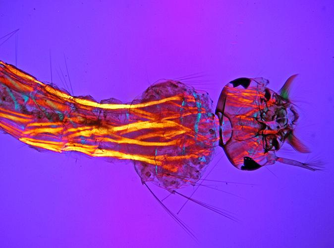 Muscles in mosquito larva (crossed polarisers plus retarder)