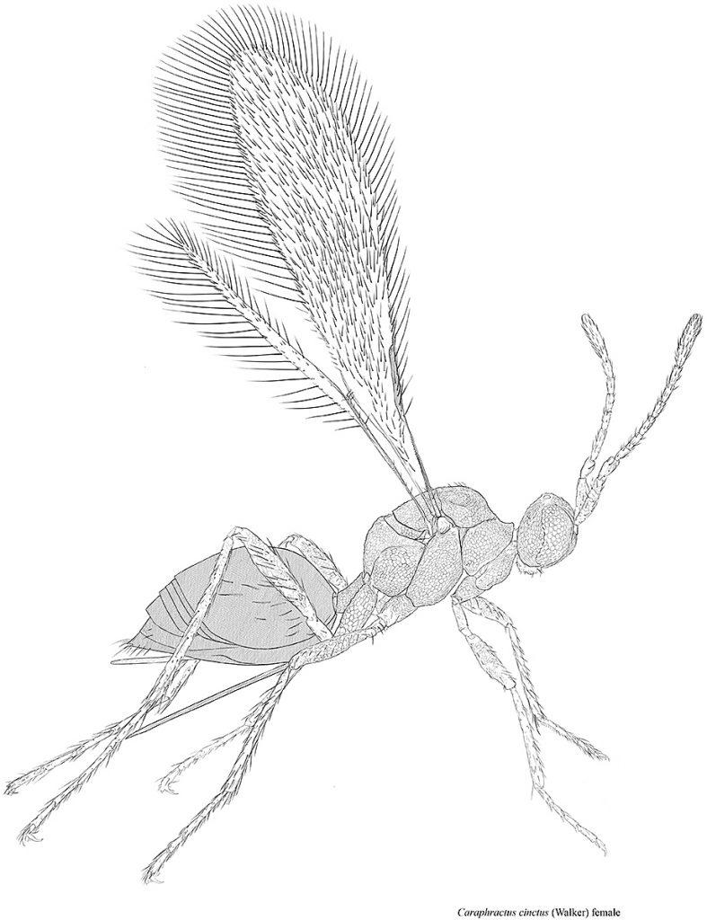 Fairy fly (Caraphractus cinctus)
