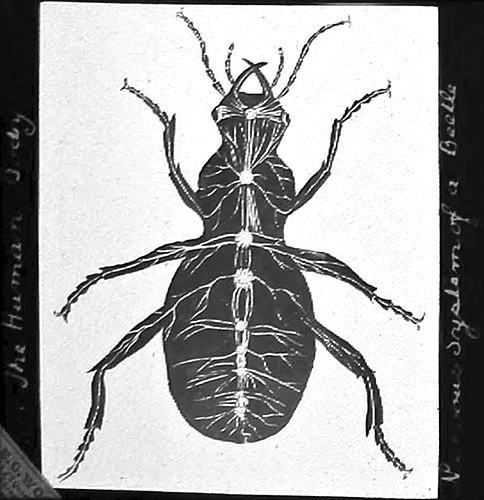 Nervous system of a beetle